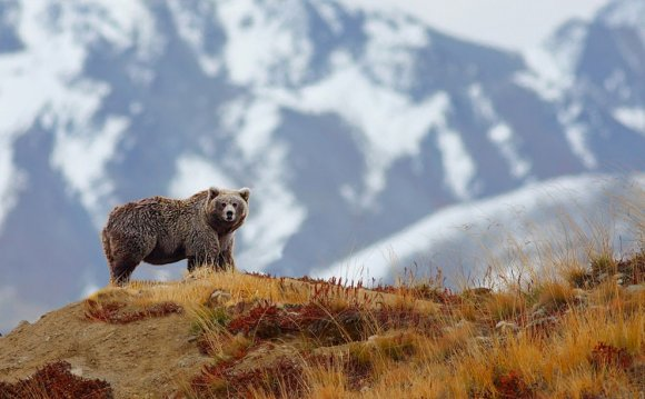 Photo: Brown bear near