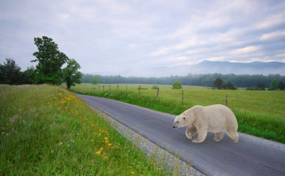 Polar bear crossing the road