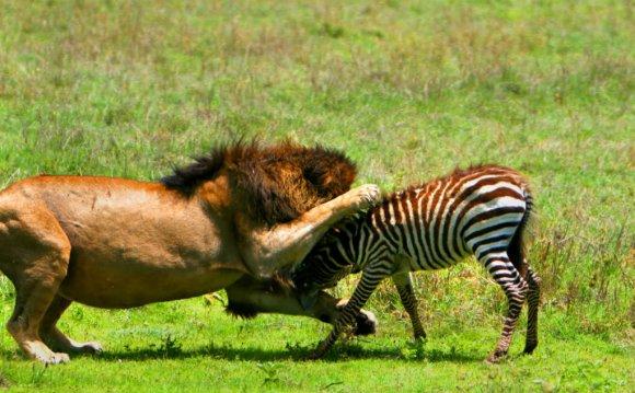 Siberian Tiger vs Grizzly Bear