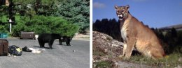 Black Bears and Mountain Lions