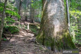 Hike the Bear Creek Trail to the giant Gennett Poplar Tree west of Ellijay