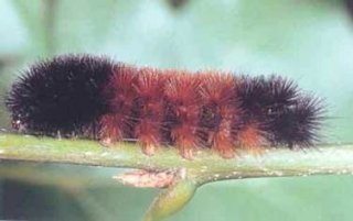 The Woolly Bear (Pyrrharctia isabella) Caterpillar is found across the United States, Canada, and Mexico. The picture above is from Wagner, David L., Valerie Giles, Richard C. Reardon, and Michael L. McManus. 1997. Caterpillars of Eastern Forests. U.S. Department of Agriculture, Forest Service, Forest Health Technology Enterprise Team, Morgantown, West Virginia. FHTET-96-34. 113 pp. Jamestown, ND: Northern Prairie Wildlife Research Center Home Page.