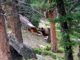 Bears in Rocky Mountain National Park