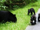 Smoky Mountains Bears